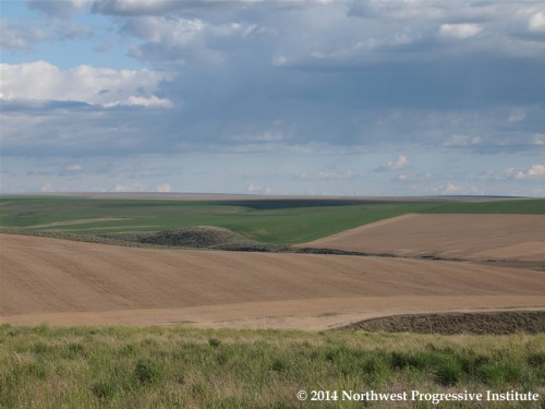 Fields of green and gold: An eastern Washington scene on a warm spring day
