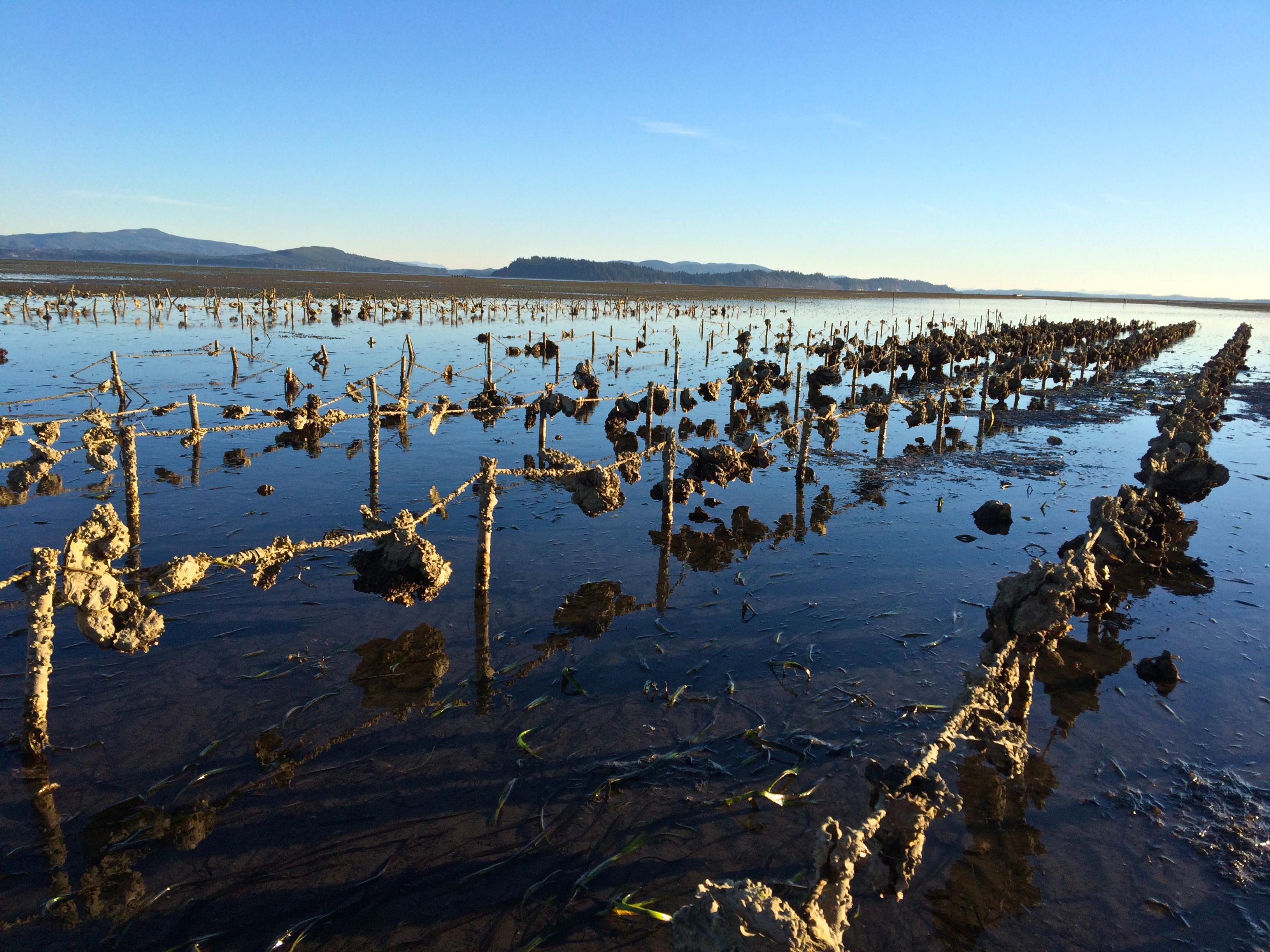 Oysters in Willapa Bay