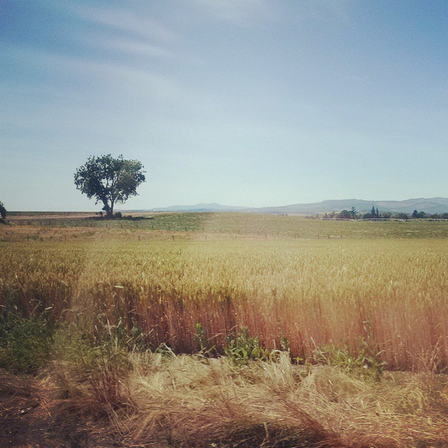 A lone tree stands in the foreground in this view from a highway bisecting Willamette Valley fields