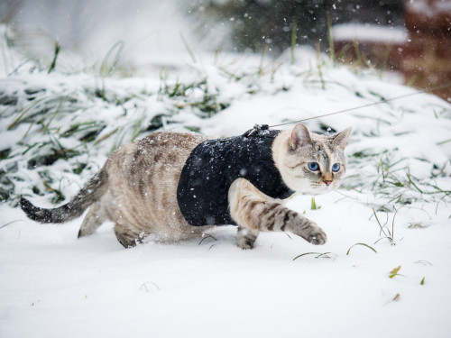 Cat on the prowl during Snowzilla 2016