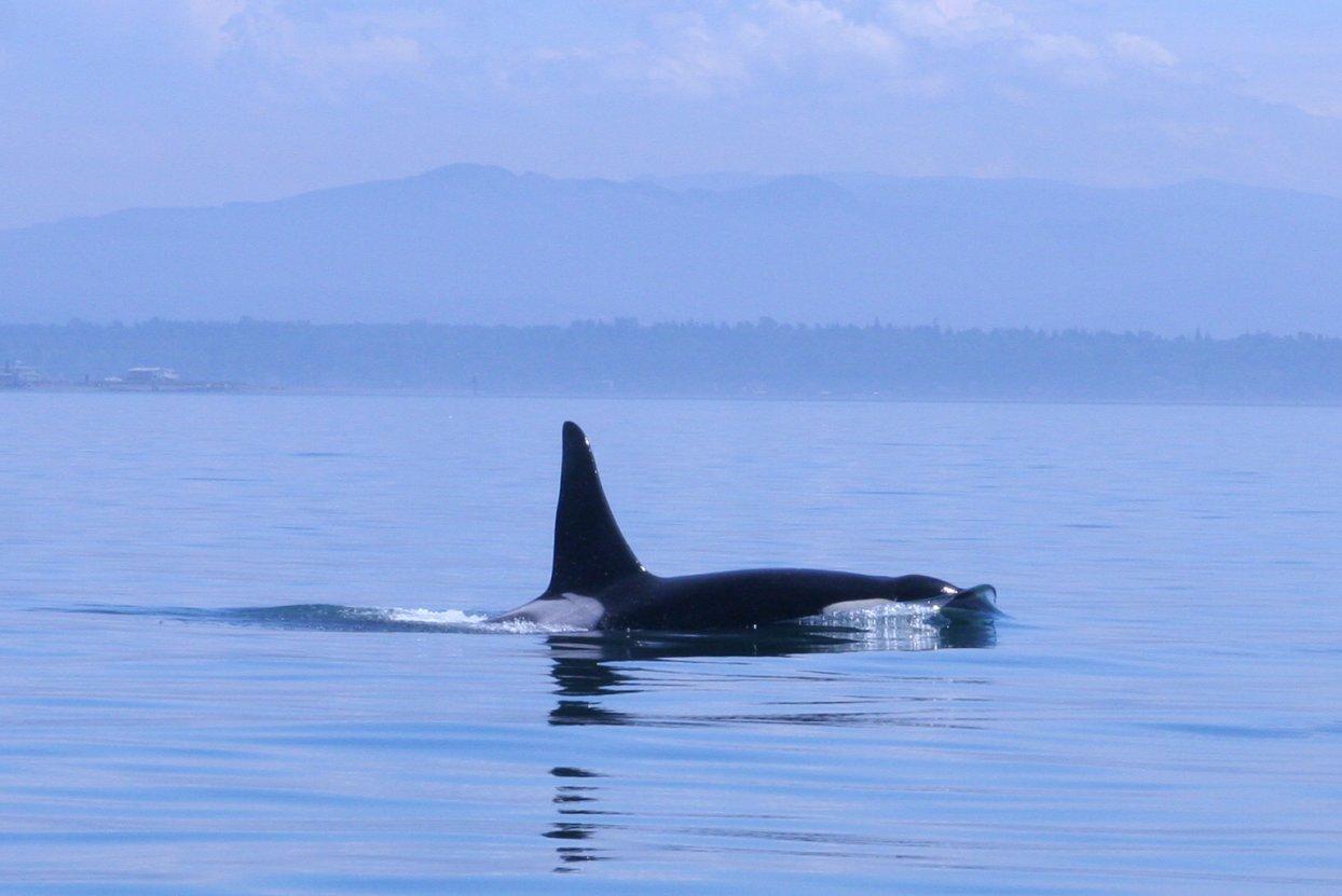 An orca (killer whale) in the San Juans