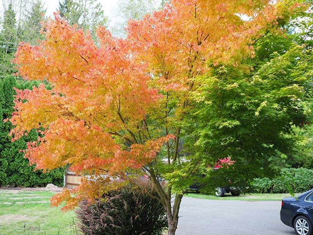 A tree with a split personality: One limb is ready for autumn, while the other doesn't want summer to be over just yet