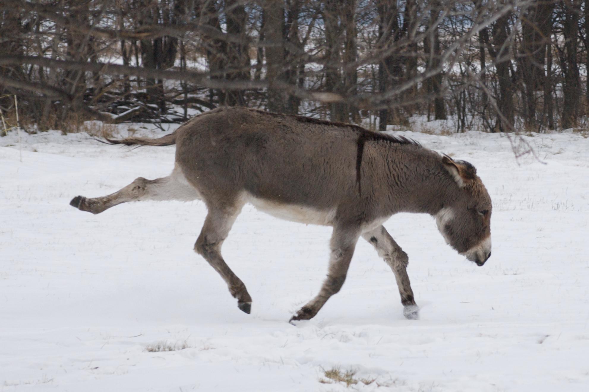 Running donkey