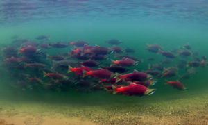 A school of sockeye