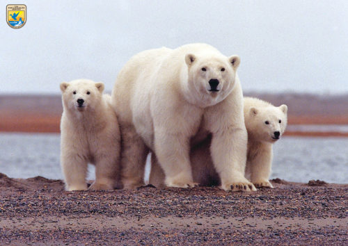 Polar bears in the Refuge
