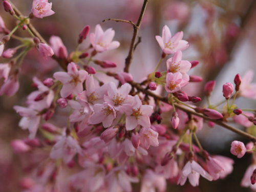 Blossoms at Eastertide